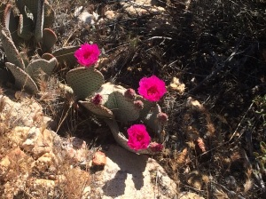 Who knew?  Cactus blooms are enormous and intensely colorful.