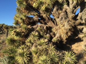 Joshua trees, thanks Recon for telling me about them